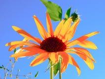 Sunny Sunflower i en blå himmel royaltyfri foto