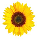 Sunny Sunflower isolerade på vit bakgrund, inklusive urklipp Bana arkivfoto