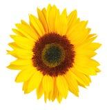 Sunny Sunflower op witte achtergrond, met inbegrip van het knippen wordt geïsoleerd die Weg stock foto