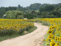 Sunny sunflower road in country Royalty Free Stock Photography