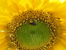 Sunny Sunflower y abeja ocupada Imagenes de archivo