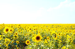 Sunny sunflowers Royalty Free Stock Photos