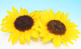 Sunny Sunflowers. Two sunny sunflowers on blue baground Royalty Free Stock Images