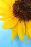 Sunny Sunflowers. Sunny sunflower. Macro. Colorful macro Royalty Free Stock Photography