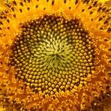 Sunny sunflowers Stock Image