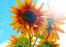 Sunny sunflowers. Bright yellow orange sunflowers photographed against sun rays and blue sky Stock Photography