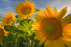 Sunny Sunflowers i Davis Royaltyfria Foton