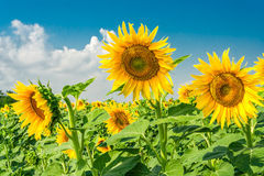 Sunny sunflowers in the summer day. On a background of blue sky Royalty Free Stock Photo