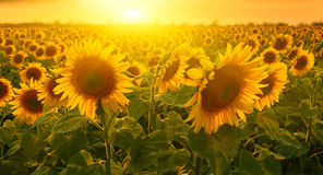 Sunny sunflowers. In sunset countryside stock image
