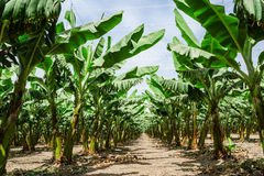 Sunny trail in banana palm trees orchard plantation Stock Photo