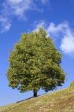 Sunny tree Royalty Free Stock Photos