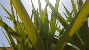 Sunny tropicals palms. Pan under a bunch of tropical palms in a sunny summer moring stock footage