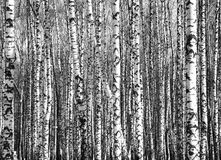 Sunny trunks of birch trees black and white Royalty Free Stock Image