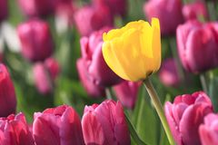 Sunny tulip in violet glade Stock Photo