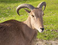 Sunny view. Green Meadow, Mountain Goat, sunny look, beautiful horns Stock Images