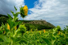 Sunny View Over the Sunflower Field at the Ruins of the Old Castle stock photo