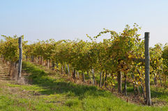 Sunny vine rows Royalty Free Stock Images
