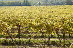 Sunny vine rows Stock Photo