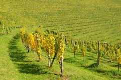 Sunny vineyard Stock Photography