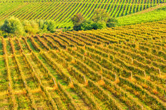 Sunny vineyard arrangement in a rows Stock Image
