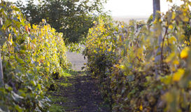 Sunny vineyard with eco ripe grape Stock Images