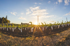 Sunny Vineyard Fisheye View stockbilder