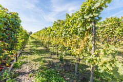 Sunny vineyard with grapes ripe for picking Royalty Free Stock Images