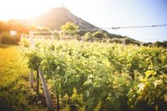Sunny Vineyard i sommar royaltyfri bild