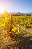Sunny Vineyard Stock Photography