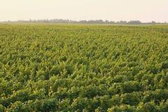 Sunny vineyard. Lots of vines bath with sunshine royalty free stock image