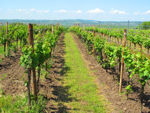 Sunny vineyard Royalty Free Stock Photo