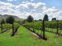 Sunny vineyards Royalty Free Stock Photography