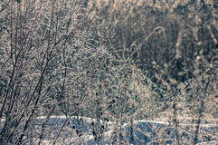 Sunny vintage frosty winter with bush. Cold winter morning in the woods and fine snow royalty free stock images
