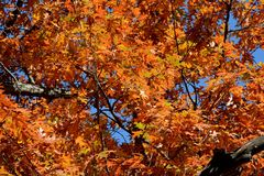 Oak Tree Foliage In Autumn Finery. Sunny vista on oak tree foliage in peak autumn color, against a blue sky background Stock Image