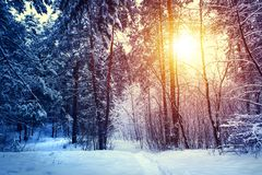 Winter snow forest trees sunset background. Red sunset in winter snow forest trees scene. Winter sunset snow forest trees view. Sunny way in winter snow forest royalty free stock image