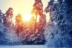 Winter snow forest trees sunset background. Red sunset in winter snow forest trees scene. Winter sunset snow forest trees view. Sunny way in winter snow forest stock photography