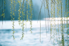 Sunny weeping willow above blurry water royalty free stock photo