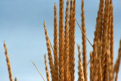 Sunny wheat. Wheat on a background of blue ocean Royalty Free Stock Image