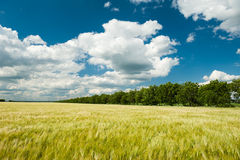Sunny wheat field and blue sky Royalty Free Stock Image