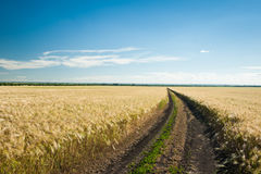 Sunny wheat field and blue sky Stock Images