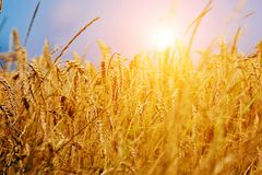 Sunny wheat field close-up Royalty Free Stock Image