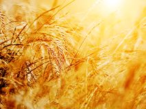 Sunny wheat field close-up Royalty Free Stock Photos
