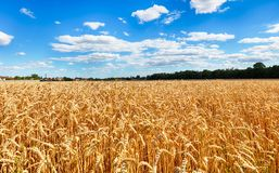 Sunny wheat field Stock Images