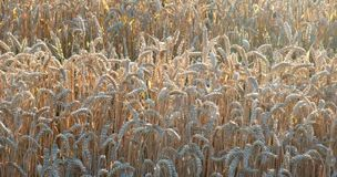 Sunny wheat field detail Royalty Free Stock Images