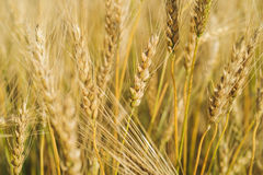 Sunny wheat field. Macro photo of ears of wheat. Rural landscape Royalty Free Stock Photos