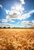 Sunny wheat field Stock Photography