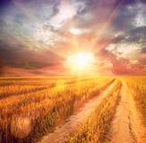 Sunny wheat field Royalty Free Stock Image