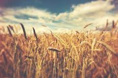 Sunny wheat field Stock Photography