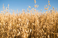 Sunny Wheat Stock Images