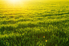 Sunny wheatfield and shining sun Royalty Free Stock Photo